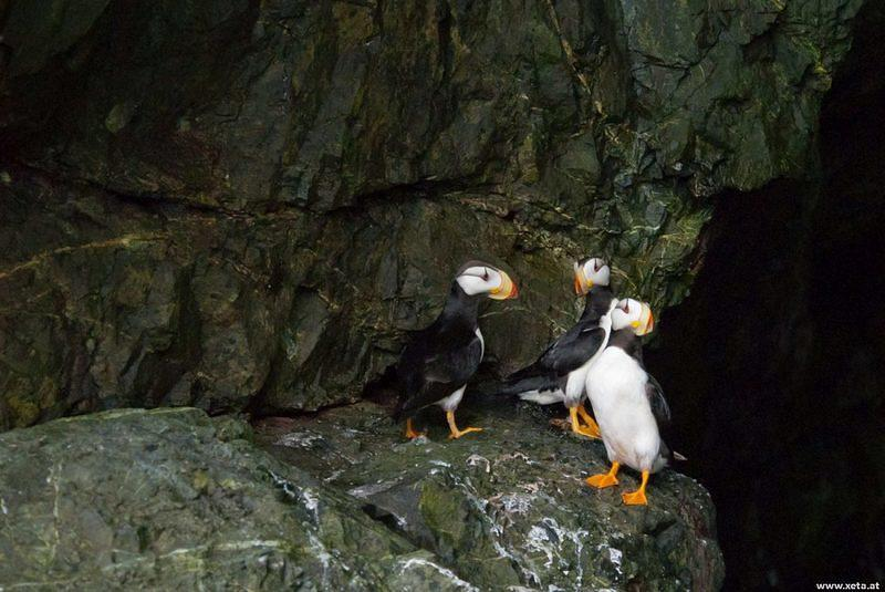 DSA 9244 Prinz-William-Sund Alaska Valdez Tufted Puffin Puffin Papageientaucher USA